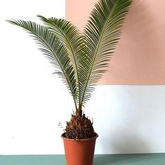 Palm Leaf Plants: Al