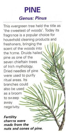 Sacred celtic tree - Pine - Pinned by The Mystic's Emporium on Etsy Magic Herbs, Herbal Magic, Peter Wohlleben, Caste Heaven, Celtic Tree, Healing Herbs, Plantation, Medicinal Plants, Book Of Shadows