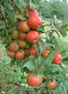 Honeycrisp Apple Tree - 4th Anniversary Fruit Gift