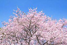 春の空とピンクのさくら