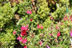 Salvia 'Hot Lips' - Red and white flowers on slender stems with blackcurrant scented foliage. Plant in a sunny position in well drained soil. Also great for pots. Red And White Flowers, Colorful Garden, Salvia, Stems, Red Lips, Pots, June, Colour, Drift Wood