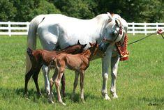 Imperial Mistaar Twins !!! :: Arabian Horses, Stallions, Farms, Arabians, for sale - Arabian Horse Network, www.arabhorse.com