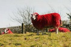 red stuff | ... to beautify the local hills and … recolor his sheep in the red