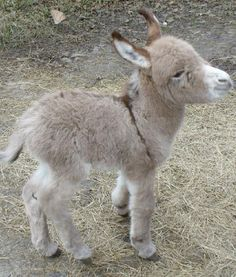check out this cute fluffy baby donkey …Happy… suficiente de los conejos … mira este lindo burro bebé esponjoso … Feliz … Baby Donkey, Mini Donkey, Baby Sheep, Donkey Donkey, Cute Baby Animals, Animals And Pets, Funny Animals, Farm Animals, Wild Animals