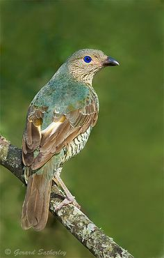 131 Best Incredible Bower birds images | Bird nests ... - photo#35