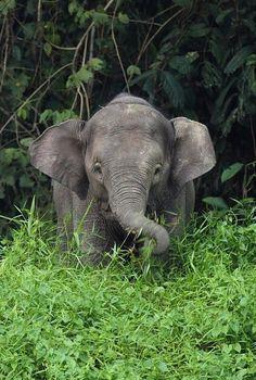 Baby elephant - dwarf elephant