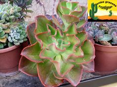Echeveria Big Red
