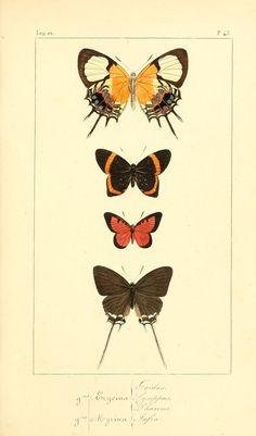 Histoire naturelle des lépidoptères exotiques - Biodiversity Heritage Library