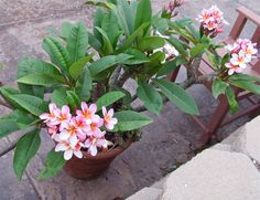 Potted Plumeria growing in California. Oh, how I want to try and grow one!