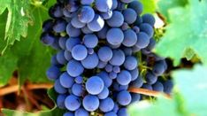 Wine Making Supplies, Non Alcoholic Wine, Growing Grapes, Sun And Water, Vitis Vinifera, Wine Bottle Holders, Organic Fruit, Aquaponics, Fruit Trees