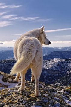 Lobo blanco del ártico.