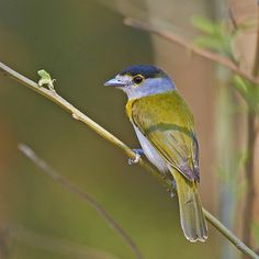 caneleiro-verde - Green-backed Becard (Pachyramphus viridi… | Flickr