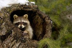 raccoon pictures | UPLOAD AN IMAGE + SEND US A LINK TO AN IMAGE + SEND US A LINK TO A ...