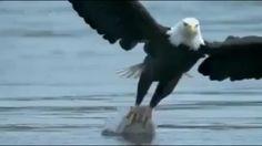 Got it Bald Eagle