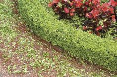 Commonly grown as a hedge, boxwoods (Buxus spp.) grow well anywhere in U.S. Department of Agriculture plant hardiness zone 4 through 10, depending on the variety. As with all newly planted shrubs, ...