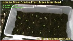 How to Grow a Dragon Fruit Tree From Seed, Germinate, Planting and 3 Month Growth :: WalayatFamily.com :: The Walayat Family Website - Announcements, Events, Local Sheffield News, Weddings, Birthdays etc.