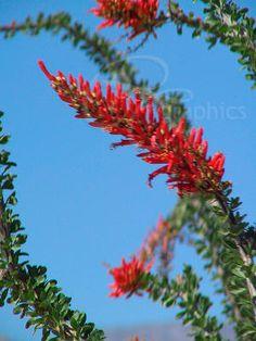 beautiful plant found in the desert Ocotillo. beautiful plant found in the desert Desert Life, Desert Art, Arizona Gardening, Desert Gardening, Cacti And Succulents, Cactus Plants, Arizona Cactus, Desert Plants, Deserts