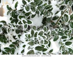 Find Green Bush Branches Snow stock images in HD and millions of other royalty-free stock photos, illustrations and vectors in the Shutterstock collection. Thousands of new, high-quality pictures added every day. Branches, Vectors, Photo Editing, Royalty Free Stock Photos, Snow, Illustrations, Pictures, Green, Nature