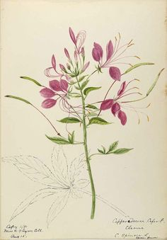 Spider Flower - Cleome houtteana syn. C. hassleriana, syn. C. spinosa - circa 1900