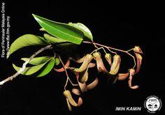 vatica mangachapoi