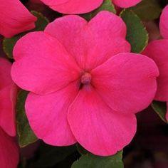 500 Impatiens seeds Impreza Rose