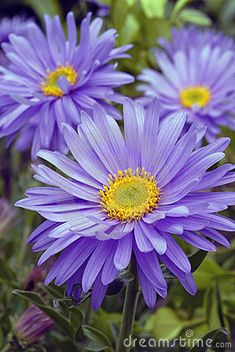 Striking Daisy-like Purple Flowers The Aster 'Professor Kippenburg', Aster novae-angliae, has beautiful vivid purple Daisy-like flowers that cover the plant. The flowers are wide making it a definite showstopper. Aster Tattoo, Aster Flower Tattoos, Birth Flower Tattoos, Flower Tattoo Designs, Tattoo Flowers, September Birth Flower, September Flowers, Birth Month Flowers, My Flower
