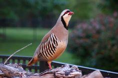 kurdistan partridge