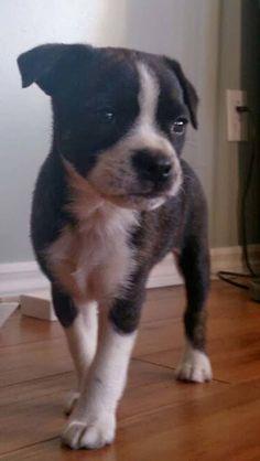 Bojack - Boston Terrier & Jack Russel Terrier