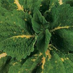 kong green