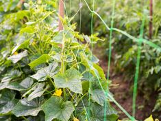Vegetables that require trellis support Planting Vegetables, All Vegetables, Growing Vegetables, Cherry Tomato Plant, Tomato Plants, Fast Growing Climbers, Building A Trellis, Wall Trellis, Types Of Beans
