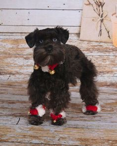 Ranked as one of the most popular dog breeds in the world, the Miniature Schnauzer is a cute little square faced furry coat. Miniature Schnauzer Puppies, Schnauzer Puppy, Adorable Animals, Animals Beautiful, Funny Animals, Cutest Thing Ever, Pretty Birds, Dog Stuff, Dog Pictures