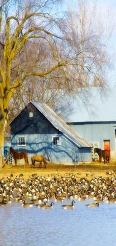 blue barn, ducks on pond, horses, and spring willows  via Robert Escoto.  Is it a painting?