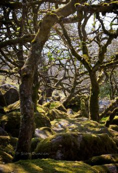 """Wistman's Wood photo recently released in """"Not the Same Tree"""" by Angela Dyer.   I took the photo while visiting Dartmoor National Park in Devon England."""