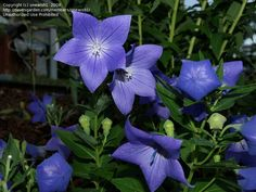 Chinese Bell Flower, So pretty and dark blue for the blue garden area. Bell flower means gratitude.
