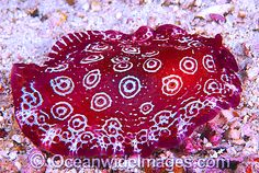 Side-gilled Slug Pleurobranchus weberi