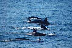 25-8- 2015, Orca sighting update in the Strait of Gibraltar by Tumares Tarifa.