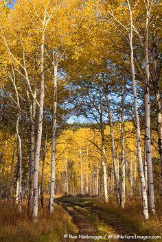 Fall colors in Bridger-Teton National Forest near Grand Teton National Park, Wyoming. Photo: Ron Niebrugge via WildNatureImages