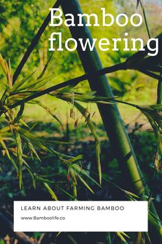 Let's talk about flowering and bamboos. I see so much mis-information on this topic so in this video I talk about flowering - the different types and how to minimize your losses. Bamboo Leaves, Let It Be, Learning, Flowers, Studying, Teaching, Royal Icing Flowers, Flower, Florals
