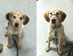 Max, a Pointer Mix was a wee puppy in our Puppy Socialization Class. Now he's back to conquer our Basic Obedience Class. Look how big he's gotten!