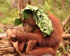 Orangutan ~ one, two. List Of Animals, Animals And Pets, Baby Animals, Funny Animals, Cute Animals, Primates, Tier Fotos, Funny Animal Videos, Nature Animals