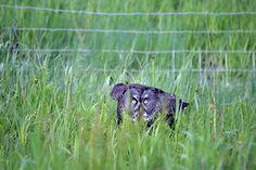 Grey Owl pouncing on Prey