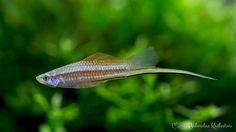 Mieczyk jest rybą znaną już i z powodzeniem hodowaną przez naszych dziadków. Jego różnorodne odmiany do dziś hipnotyzują niejednego akwarystę.