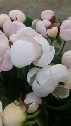 Gardenia Variety Peonies
