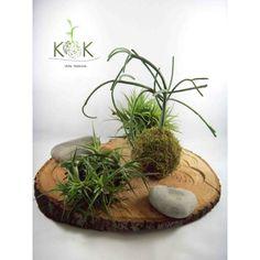 Kokedama Euphorbia Tirucalli & Kok Arte Natural