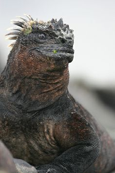 (Amblyrhynchus cristatus) Marine Iguana- They have the funniest little expression, and they squirt water out of their nostrils. Reptiles Et Amphibiens, Cute Reptiles, Mammals, Unusual Animals, Animals Beautiful, Reptile Man, Animals And Pets, Cute Animals, Marine Iguana