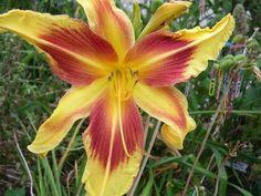 Daylily (Hemerocallis 'Lady Neva') uploaded by hemlady Daylily Garden, Day Lilies, Photo Location, Tropical Flowers, Evergreen, Orchids, Beautiful Flowers, Bloom, Lady