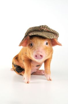 Dress up your pet day .. Animal lovers in the UK soon caught on Above: A two-week-old Oxford sandy & black piglet wearing a flat cap  Picture: JOHN DANIELS/ARDEA/CATERS NEWS