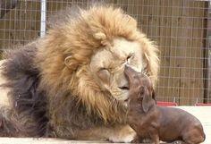 Milo, un perro salchicha capaz de limpiarle los dientes a un león Sólo el instinto para formar camadas de los leones y los perros ha hecho posible esta historia, única en el mundo.  Bonedigger, un león de cinco años, y Milo, un perro salchicha de siete, conviven y tienen una estrecha amistad en el parque zoológico Garold Wayne  situado en Wynnewood (EEUU).