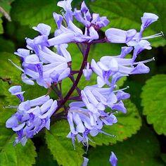 Plectrantys zuluensis -- grows well from cuttings, likes shade or semi shade. African Tree, African Plants, Dutch Gardens, Flora Garden, Shade Flowers, Public Garden, Shade Garden, Dream Garden, My Flower