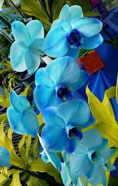 blue orchids Mais